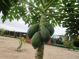 Active Aid in Africa Malawi: Erstes Obst, Papaya